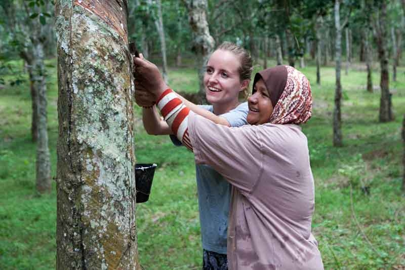 Two Ladies Tapping a Natural Rubber Latex Tree