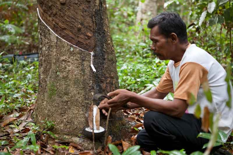 Man Tapping a Latex Rubber Tree