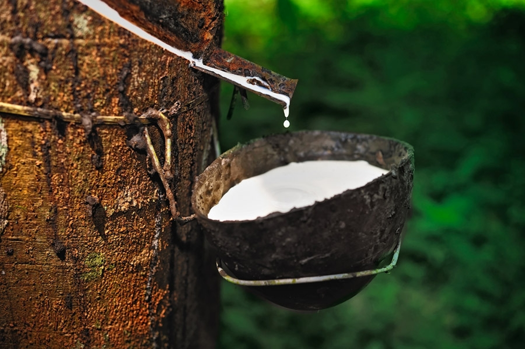 Latex from Rubber Tree